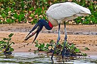 Animais. Aves. Jaburu ( Jabiru mycteria). Pantanal. 2011. Foto de Ana Druzian.