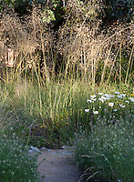 Stipa gigantea with dappled sunlight in California backyard meadow garden, Barbata garden, Walnut Creek, California