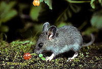 MU50-067z  Deer Mouse young eating berries - Peromyscus maniculatus