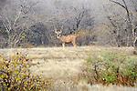 Sambar, Ranthambhore National Park; Rajasthan