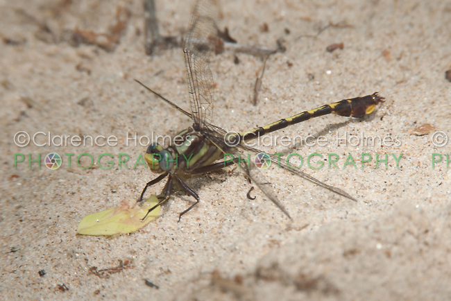 Cocoa Clubtail (Gomphus hybridus) Dragonfly - Male, River Bend WMA, East Dublin, Laurens County, Georgia