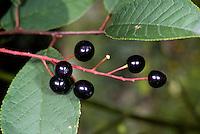 Gewöhnliche Traubenkirsche, Frühe Traubenkirsche, Trauben-Kirsche, Früchte, Prunus padus, European Bird Cherry