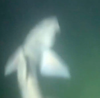 BNPS.co.uk (01202) 558833. <br /> Pic: OlyRush/BNPS<br /> <br /> WITH VIDEO... https://we.tl/t-pi2ICf3bFT<br /> <br /> Pictured: The sharks surrounding Oly<br /> <br /> This is the terrifying moment a man found himself surrounded by 50 sharks in British waters while training to swim around the Isle of Wight. <br /> <br /> Oly Rush set off from the exclusive Sandbanks resort, Dorset, for his first night time swim in preparation for the charity challenge. <br /> <br /> He cut through the pitch black waters, unable to see more than a few metres ahead of him, until something knocked him about 240ft from shore. <br /> <br /> Stopping alongside Ashley McPherson, who accompanied him in a kayak, unknown creatures continued to buffer at his legs near Branksome Beach, Poole. <br /> <br /> Unnerved, Oly, 36, dived beneath the surface with his phone in a waterproof case while Ashley pointed his torch.