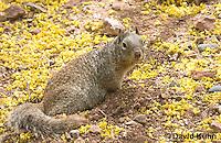 0613-1111  Rock Squirrel (Ground Squirrel), Pregnant Female, Spermophilus variegatus (Otospermophilus variegatus)  © David Kuhn/Dwight Kuhn Photography