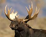 Bull moose. Teton National Park.