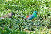 Red-Rumped Parrot, Dubbo Crv Pk, NSW, Australia