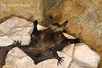 MA20-699z  Big Brown Bat 4 week old young,  Eptesicus fuscus