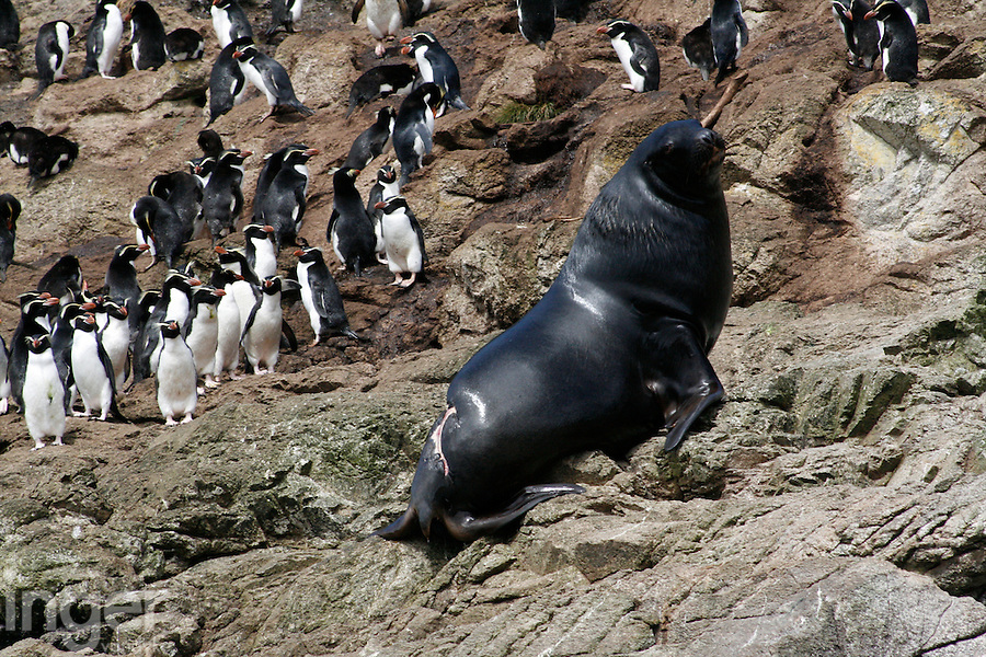 Hooker's Sealion and Snares Crested Penguins on the Snares Islands, Antarctica