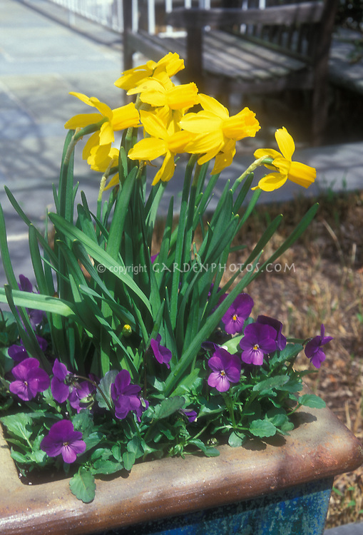 Spring bulbs in pot Narcissus 'Jetfire' in container Division 6 Daffodil, with purple  viola pansies in spring planter