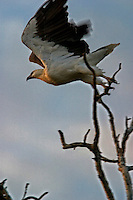 Australian Sea Eagle flies from a tree branch in Kakadu National Park.<br /> <br /> The paperbark forests that fringe the floodplains provide ideal nesting sites for wetland birds such as the white-bellied sea eagle.