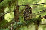 Northern Spotted Owl perched on a moss covered branch in Oregeon.