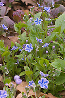 Omphalodes cappadocica 'Starry Eyes' (Blue-Eyed Mary, Navelwort, Forget-me-not) in tiny blue starry flower showing plant habit and foliage