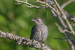 Gray catbird in northern Wisconsin.