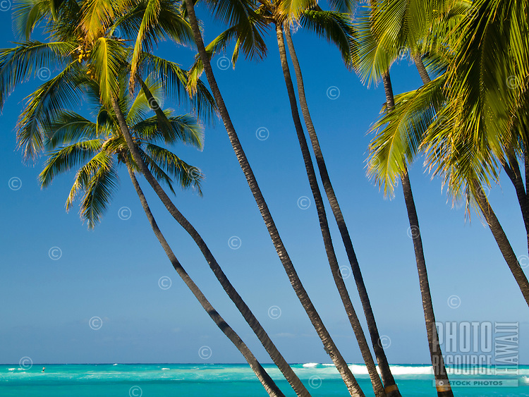 Palm trees in the foreground of a beautiful blue day on the Big Island.