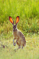 Black-tailed jackrabbit (Lepus californicus)