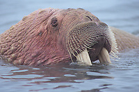Walrus bull (Odobenus rosmarus) Alaska Peninsula's Bering Sea coast.  Summer.