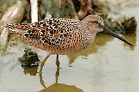 Long-billed dowitcher adult breeding at Port Aransas, TX Birding Center pond