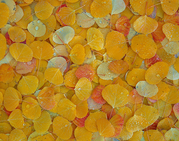 Raindrops on autumn Aspen leaves, Colorado .  John offers private photo tours and workshops throughout Colorado. Year-round.