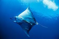 sickle-fin devil ray, Mobula tarapacana, hooked on long line following Pilot Fish, Naucrates ductor, Cocos Island, Costa Rica - Pacific Ocean