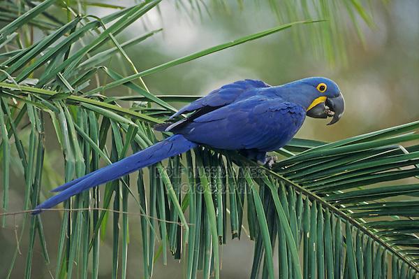 Hyacinth Macaw (Anodorhynchus hyacinthinus),adult perched on palm leaf, Pantanal, Brazil, South America
