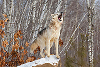 Wolf (Canis lupus), howling, winter, Minnesota, USA, North America