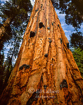 Giant Sequoia, Redwood Creek, Kings Canyon National Park, California