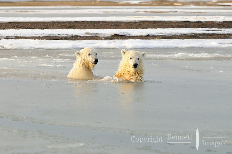 These twin cubs are having a romp as the ice  slowly forms. Every fall, polar bears gather near the community of Kaktovik, Alaska, on the northern edge of ANWR, waiting for the Arctic Ocean to freeze. The bears have become a symbol of global warming.