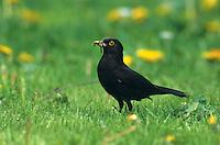 Amsel, Männchen erbeutet Regenwürmer auf dem Rasen und sammelt sie für seine Küken, Schwarzdrossel, Schwarz-Drossel, Drossel, Turdus merula, blackbird
