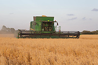 13-8-2021 Harvesting oats in Lincolnshire <br /> ©Tim Scrivener Photographer 07850 303986<br />      ....Covering Agriculture In The UK....