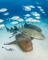 nurse shark, Ginglymostoma cirratum, South Bimini, Bimini, Bahamas, Atlantic Ocean
