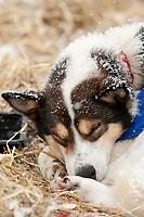 A Tim Hunt dog sleeps at McGrath during Iditarod 2009