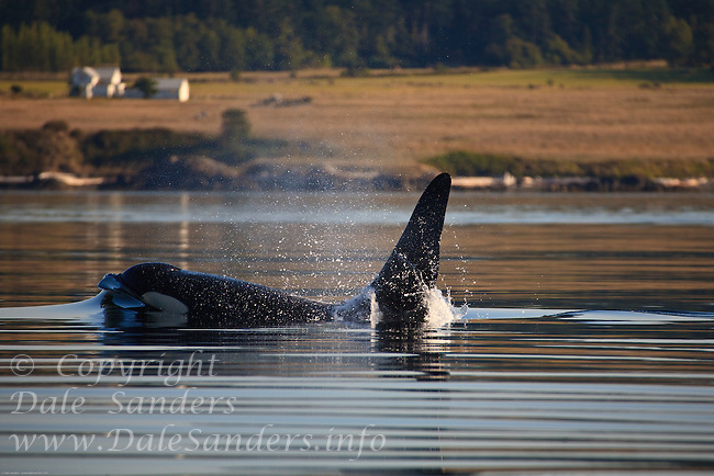 A large bull Killer Whale or Orca (Orcinus orca ) surfaces off the San Juan Islands in Washington, USA.