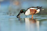 Northern Shoveler (Anas clypeata), male feeding in lake, Dinero, Lake Corpus Christi, South Texas, USA