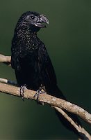 Groove-billed Ani, Crotophaga sulcirostris, adult, Lake Corpus Christi, Texas, USA, May 2003