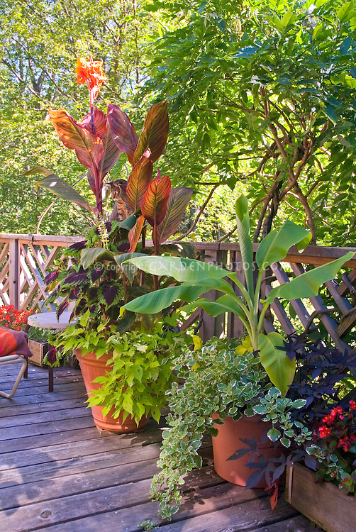 Canna , banana Musa Dwarf Cavendish, annual foliage plants and flowers in container pots garden on summer deck under wisteria