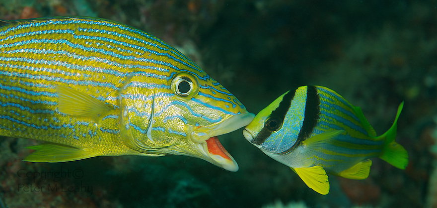 Juvenile Porkfish gently prodding a Blue Stripe Grunts mouth open