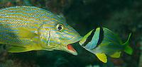 Juvenile Porkfish gently prodding a Blue Stripe Grunts mouth open