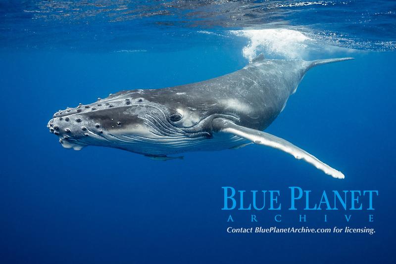 humpback whale calf, Megaptera novaeangliae, Vava'u, Kingdom of Tonga, South Pacific Ocean