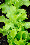 Spring lettuce.