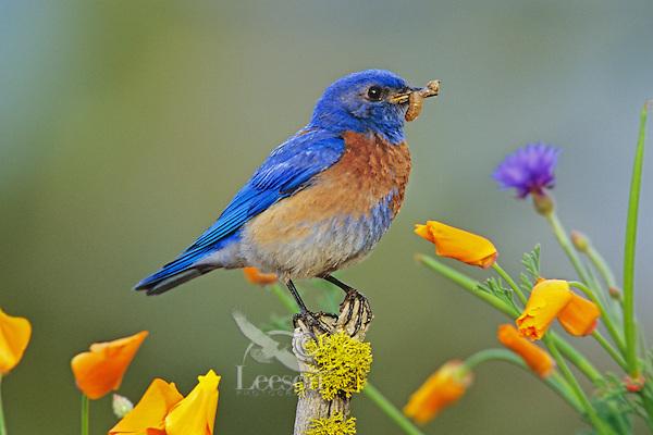 Male Western Bluebird (Sialia mexicana) perched among wildflowers, Western U.S., spring.