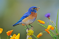 Male Western Bluebird (Sialia mexicana) perched among wildflowers, Western U.S., spring.