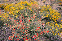 Brittlebush (Encelia farinosa) and Desert or Apricot Mallow (Sphaeralcea ambigua) wildflowers in the Newberry Mountains from along Christmas Tree Pass Road Lake Mead Recreation Area, near Laughlin, Nevada.