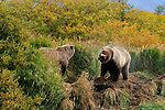 Two grizzly bears, Ursus arctos horribilis, get ready for a confrontation over a meal of salmon.