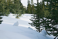 White-tailed Ptarmigan (Lagopus leucurus) resting in snow among high mountain forest.  Northern Rockies. Winter.