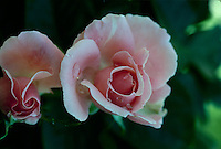 Two pink rose buds opening while covered with dew