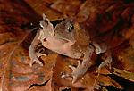 True Toad, Tambopata River region, Peru