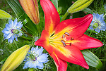 Vashon-Maury Island, WA: Lily (Lilium 'Jacqueline') with Love-in-a-Mist (Nigella Damascena)