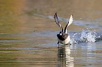 Lesser Scaup (Aythya affinis), male taking flight from Papago Ponds, Papago Park, Phoenix, Arizona.
