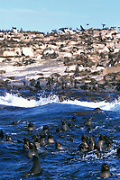 South African fur seals, Arctocephalus pusillus pusillus, Seal Island, False Bay, Cape of Good Hope, South Africa