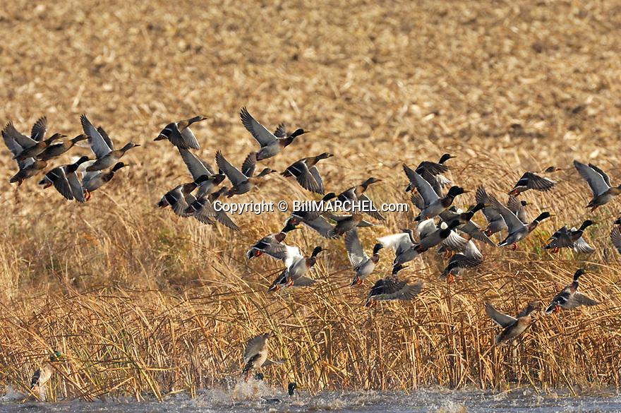 00330-067.01 Mallard Duck (DIGITAL) flock is taking flight from pothole surrounded by corn stubble.  Hunt, waterfowl, wetlands.  H1E1
